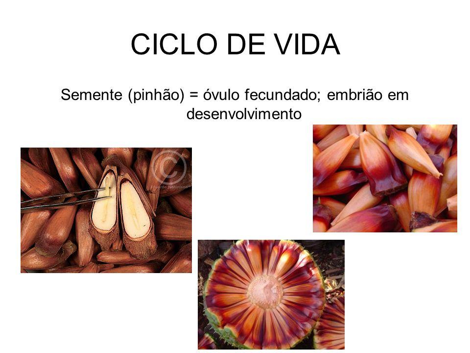 Semente (pinhão) = óvulo fecundado; embrião em desenvolvimento