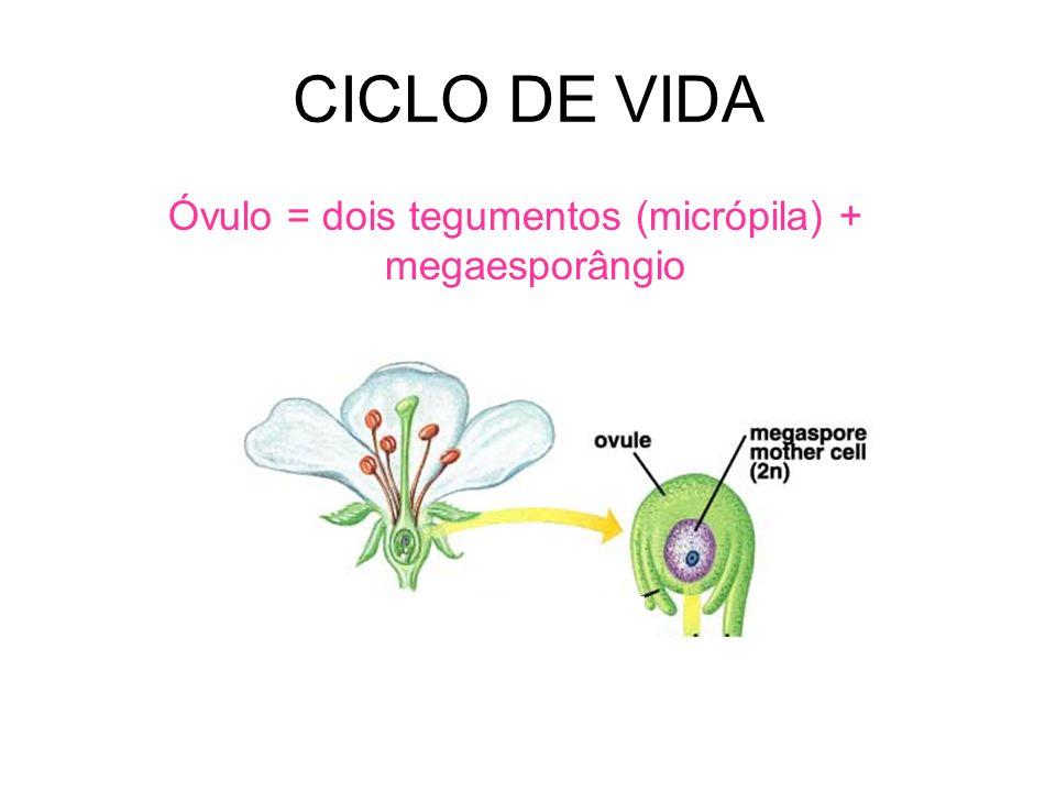 Óvulo = dois tegumentos (micrópila) + megaesporângio