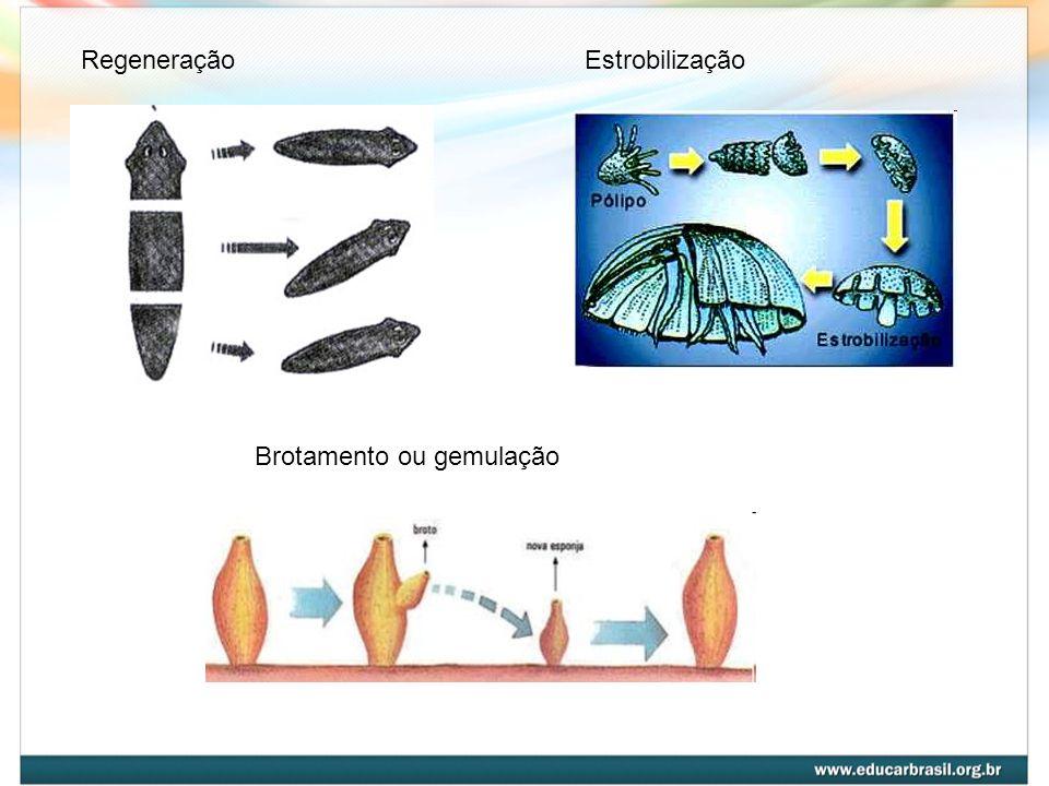 Regeneração Estrobilização Brotamento ou gemulação