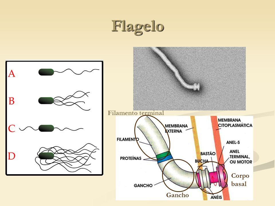Flagelo Filamento terminal Corpo basal Gancho