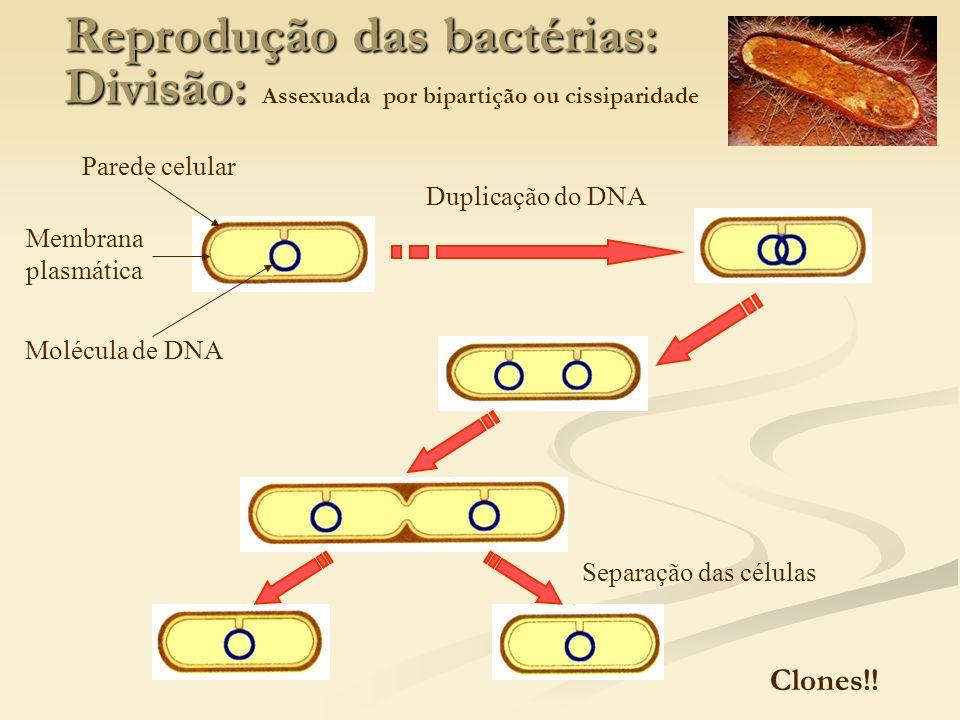 Reprodução das bactérias: Divisão: Assexuada por bipartição ou cissiparidade
