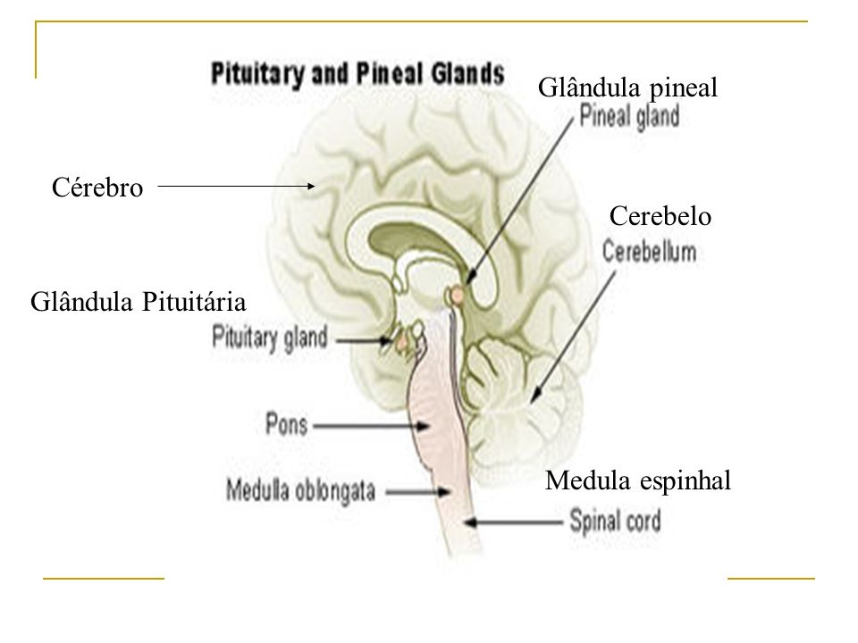 Glândula pineal Cérebro Cerebelo Glândula Pituitária Medula espinhal