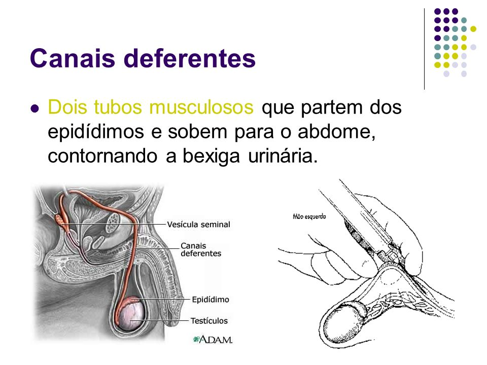Canais deferentes Dois tubos musculosos que partem dos epidídimos e sobem para o abdome, contornando a bexiga urinária.