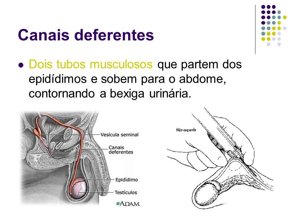 Canais deferentesDois tubos musculosos que partem dos epidídimos e sobem para o abdome, contornando a bexiga urinária.