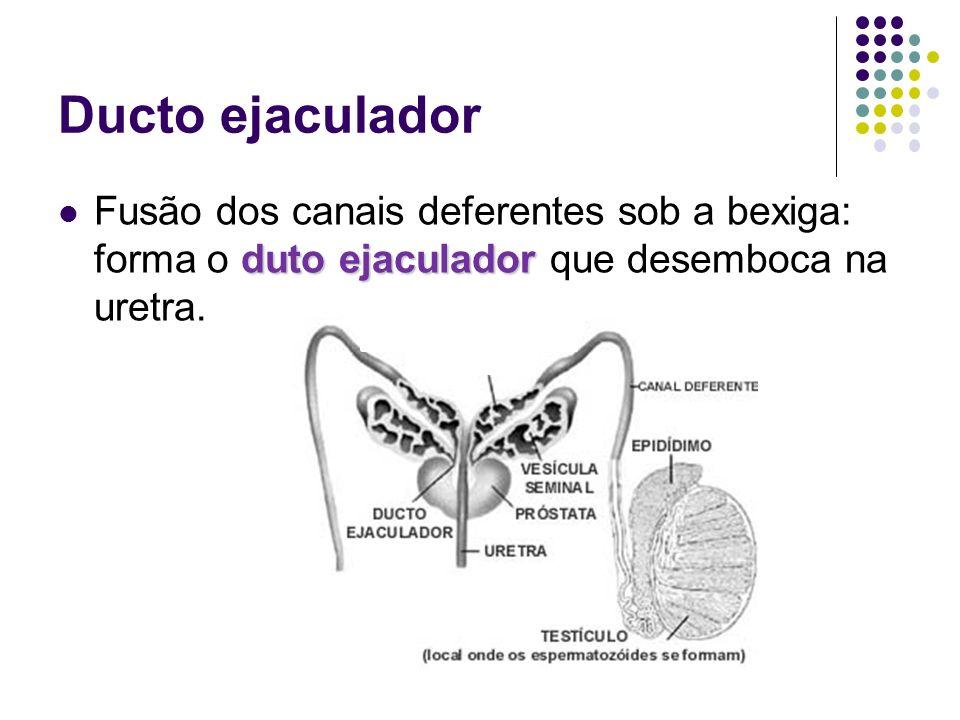 Ducto ejaculador Fusão dos canais deferentes sob a bexiga: forma o duto ejaculador que desemboca na uretra.