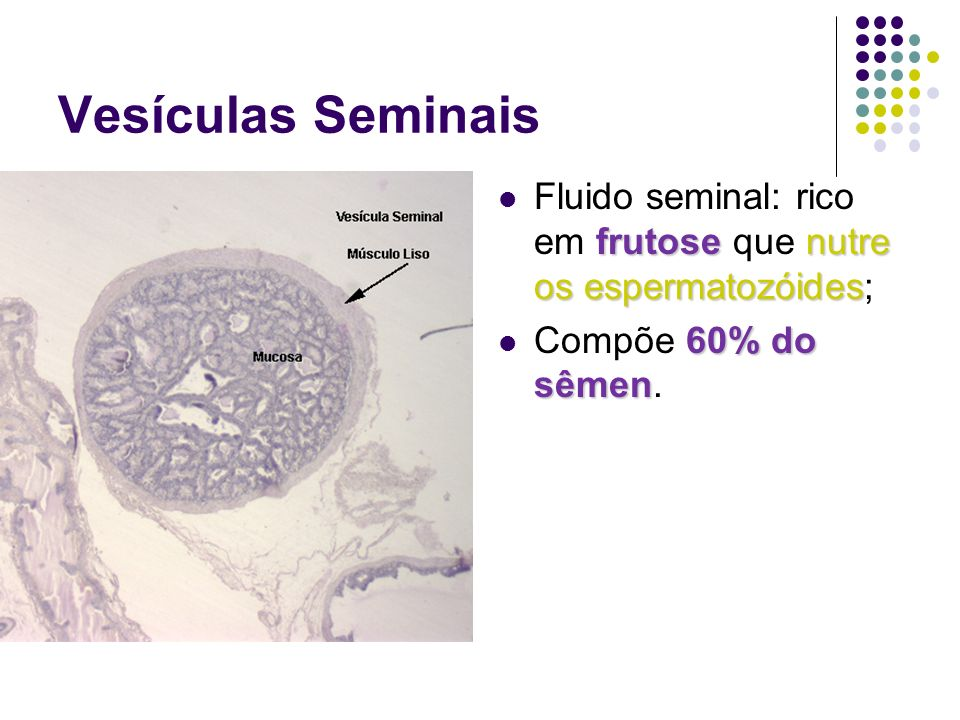 Vesículas Seminais Fluido seminal: rico em frutose que nutre os espermatozóides; Compõe 60% do sêmen.