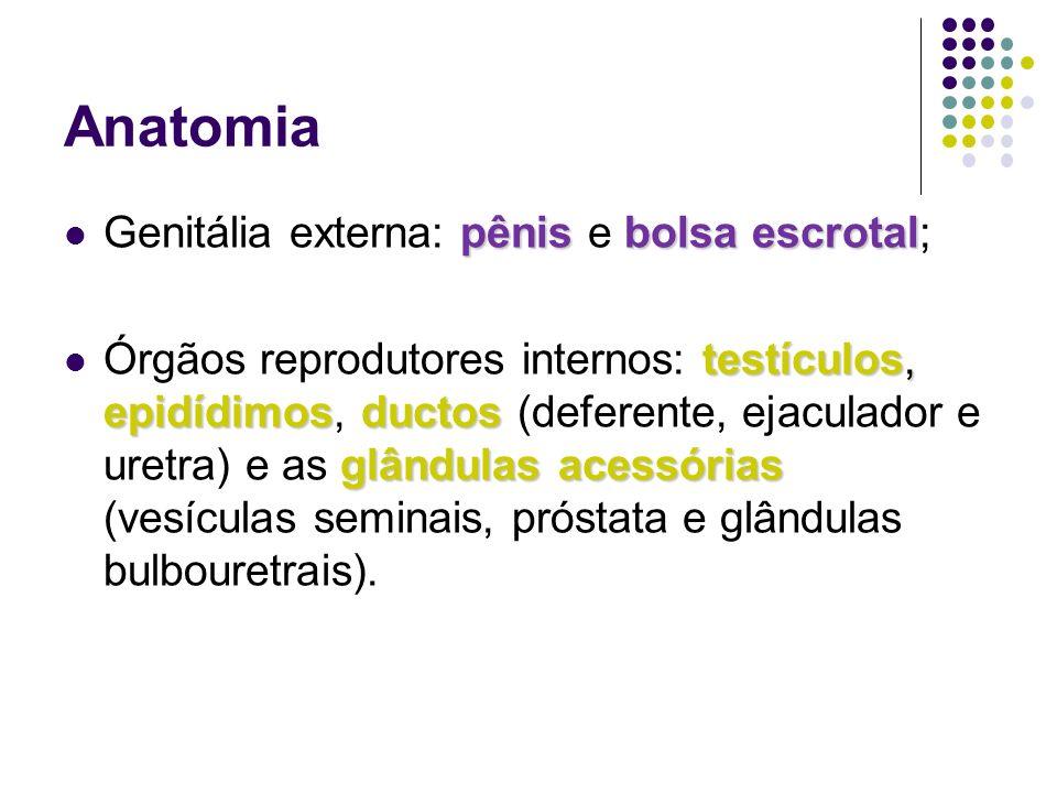 Anatomia Genitália externa: pênis e bolsa escrotal;