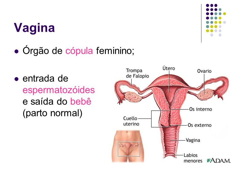 Vagina Órgão de cópula feminino;