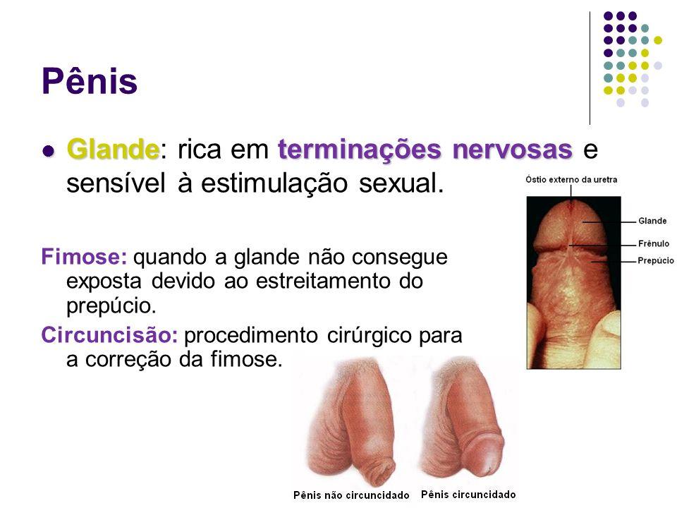 Pênis Glande: rica em terminações nervosas e sensível à estimulação sexual.