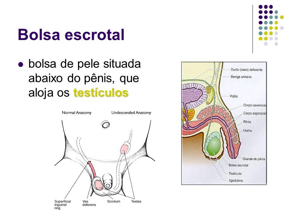Bolsa escrotalbolsa de pele situada abaixo do pênis, que aloja os testículos.