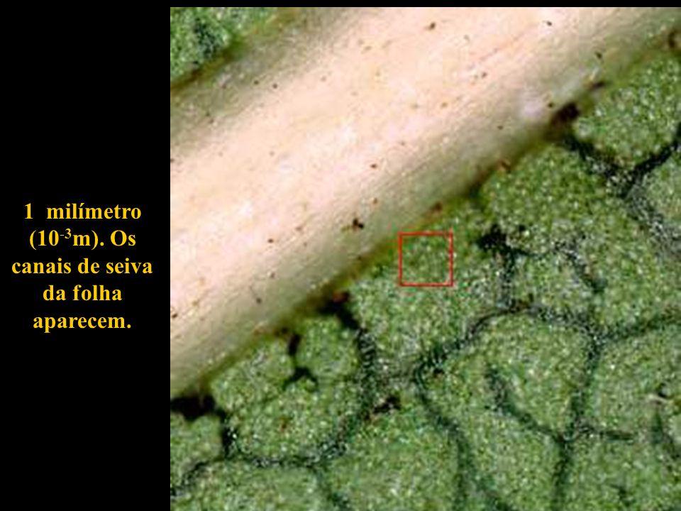 1 milímetro (10-3m). Os canais de seiva da folha aparecem.