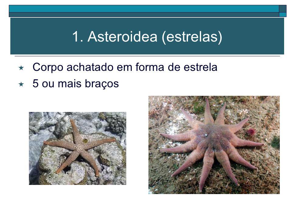 1. Asteroidea (estrelas)