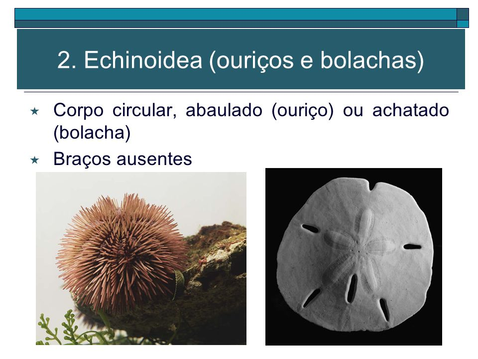 2. Echinoidea (ouriços e bolachas)