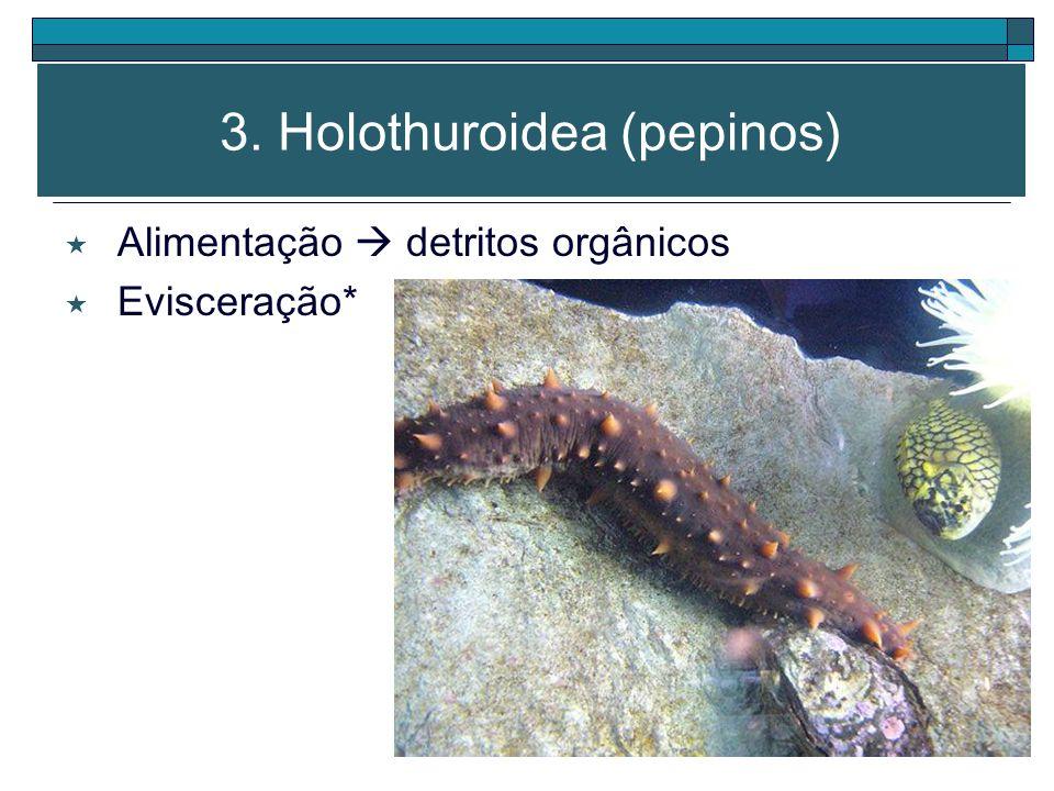 3. Holothuroidea (pepinos)