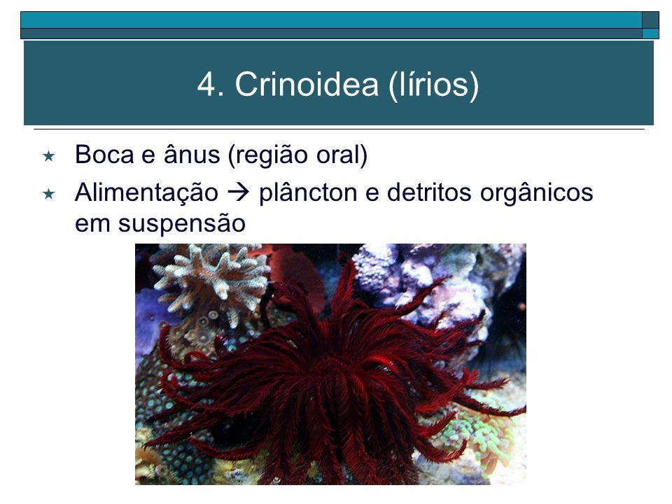 4. Crinoidea (lírios) Boca e ânus (região oral)