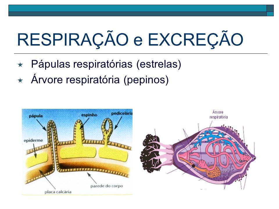 RESPIRAÇÃO e EXCREÇÃO Pápulas respiratórias (estrelas)