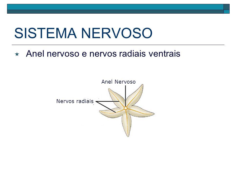 SISTEMA NERVOSO Anel nervoso e nervos radiais ventrais Anel Nervoso