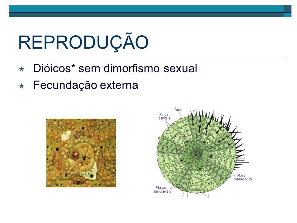 REPRODUÇÃO Dióicos* sem dimorfismo sexual Fecundação externa
