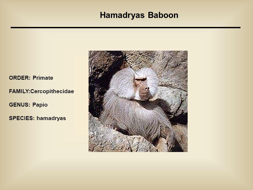 Hamadryas Baboon ORDER: Primate FAMILY:Cercopithecidae GENUS: Papio