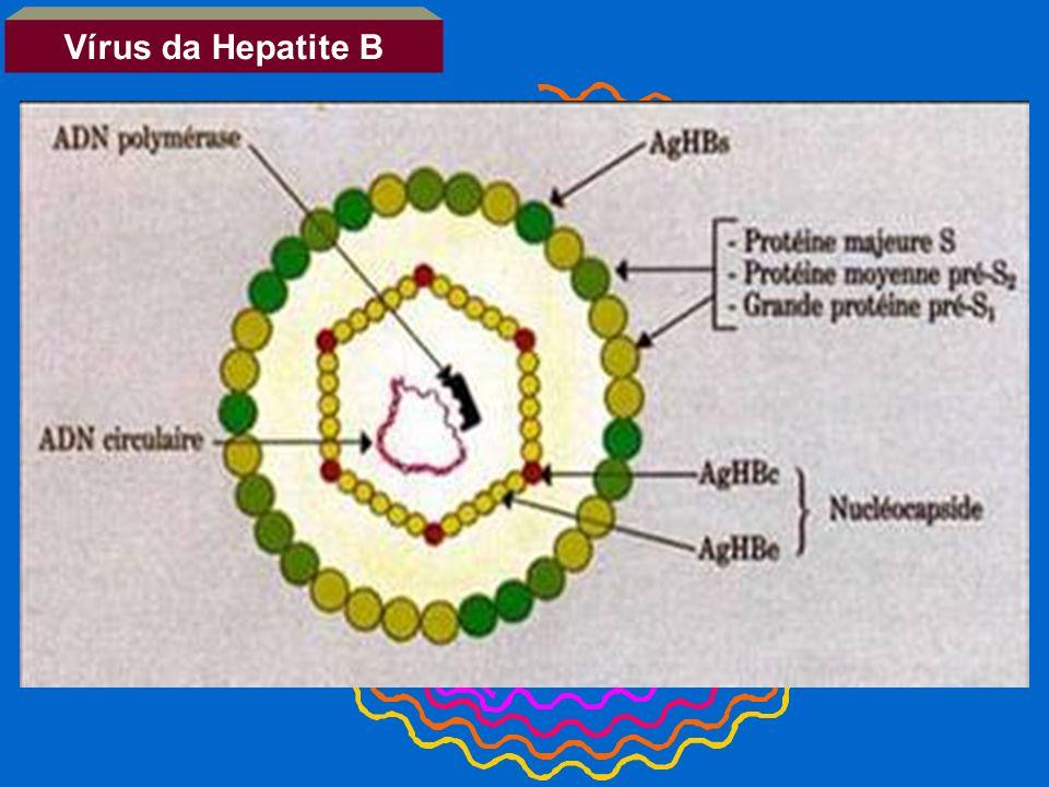 Vírus da Hepatite B 2.1kb RNA 2.4kb RNA 3.5kb RNA 0.7kb RNA