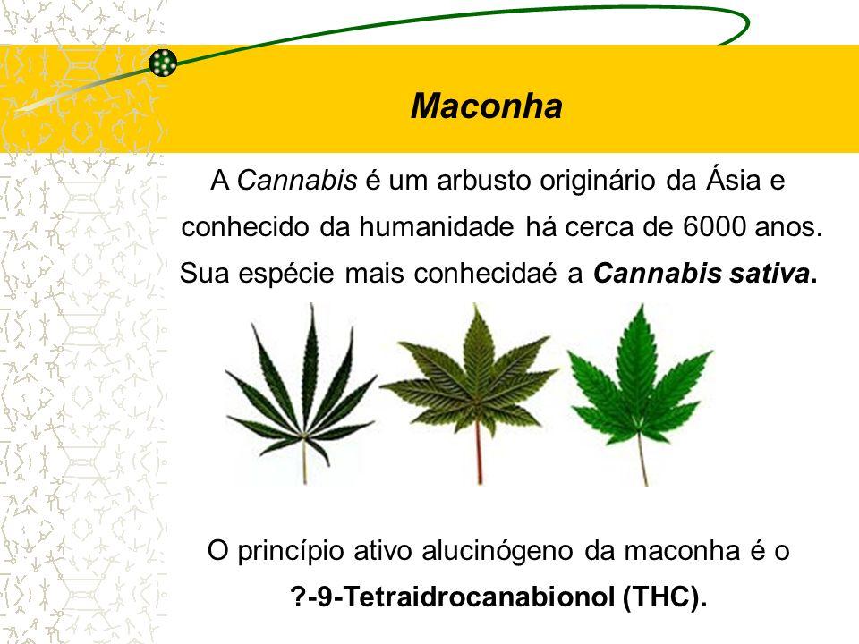 Maconha A Cannabis é um arbusto originário da Ásia e