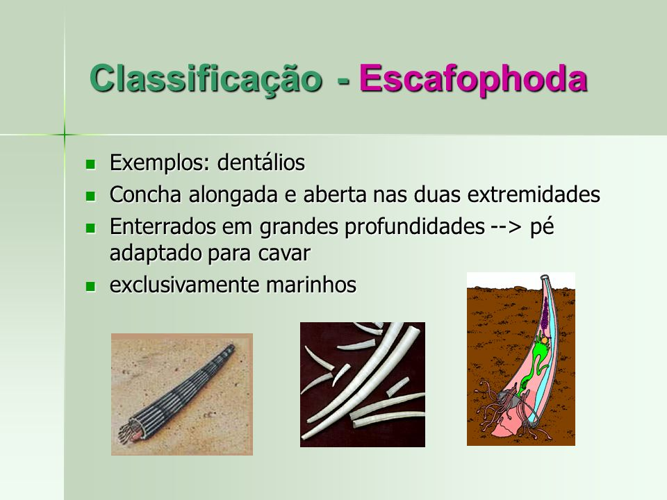 Classificação - Escafophoda
