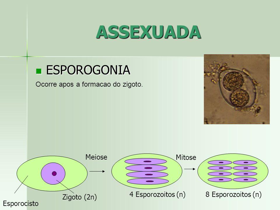ASSEXUADA ESPOROGONIA Ocorre apos a formacao do zigoto. Meiose Mitose