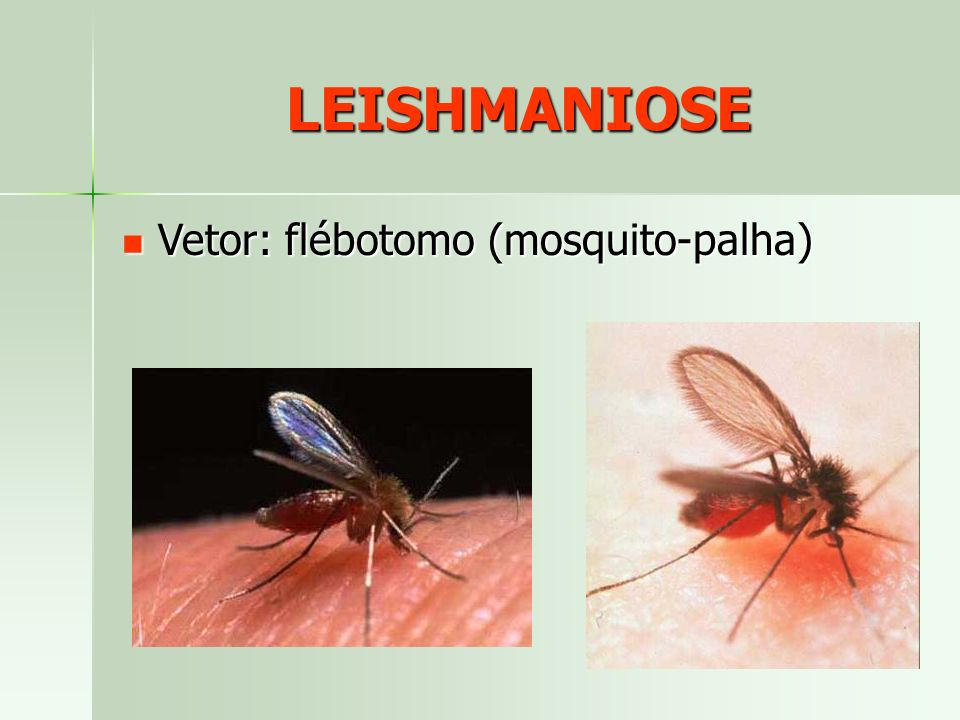 LEISHMANIOSE Vetor: flébotomo (mosquito-palha)