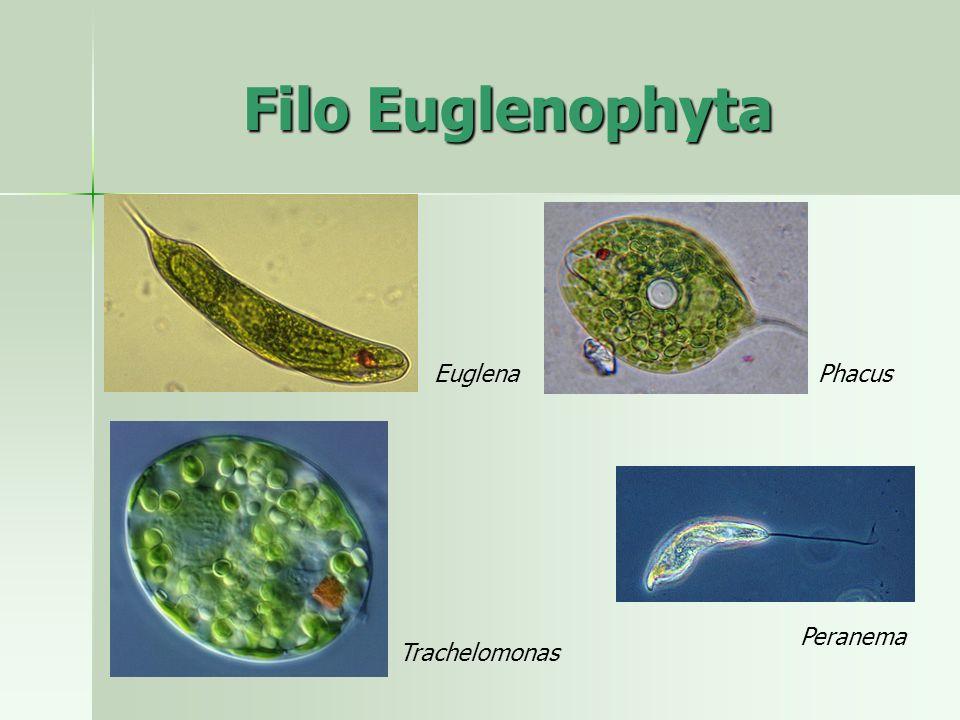 Filo Euglenophyta Euglena Phacus Peranema Trachelomonas