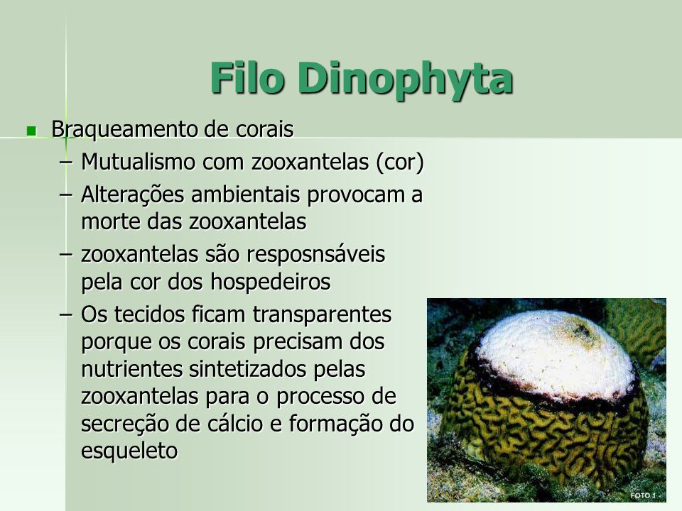 Filo Dinophyta Braqueamento de corais Mutualismo com zooxantelas (cor)