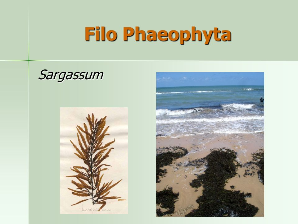 Filo Phaeophyta Sargassum