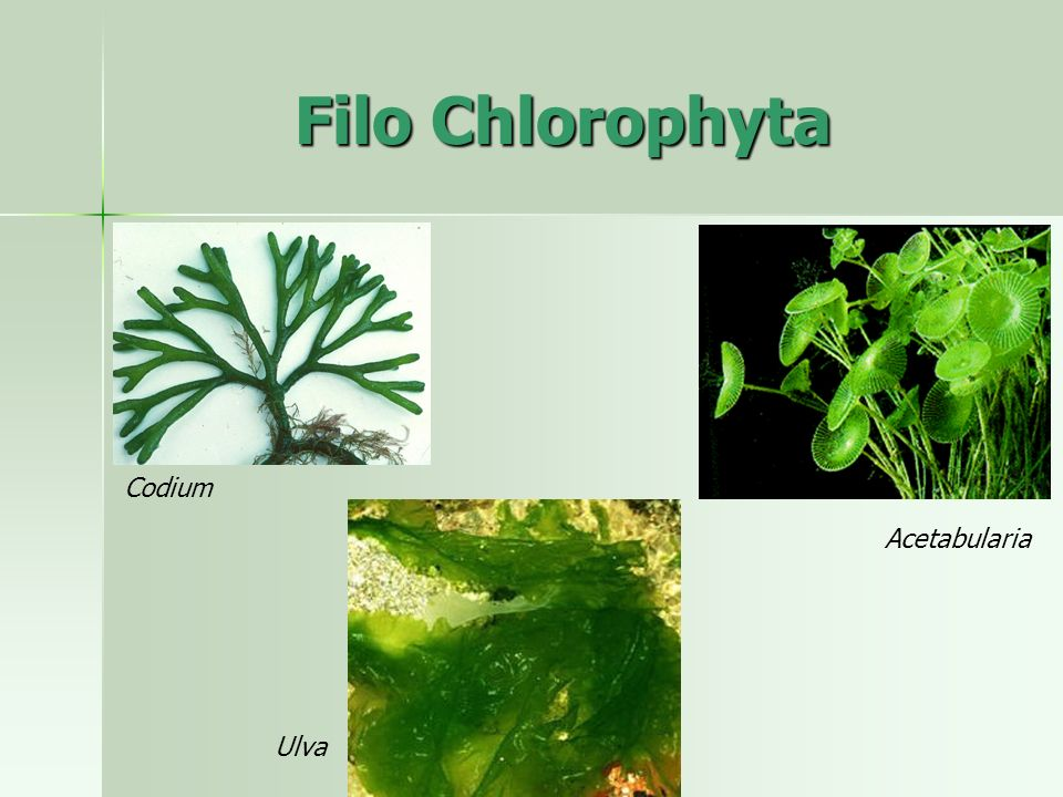 Filo Chlorophyta Codium Acetabularia Ulva