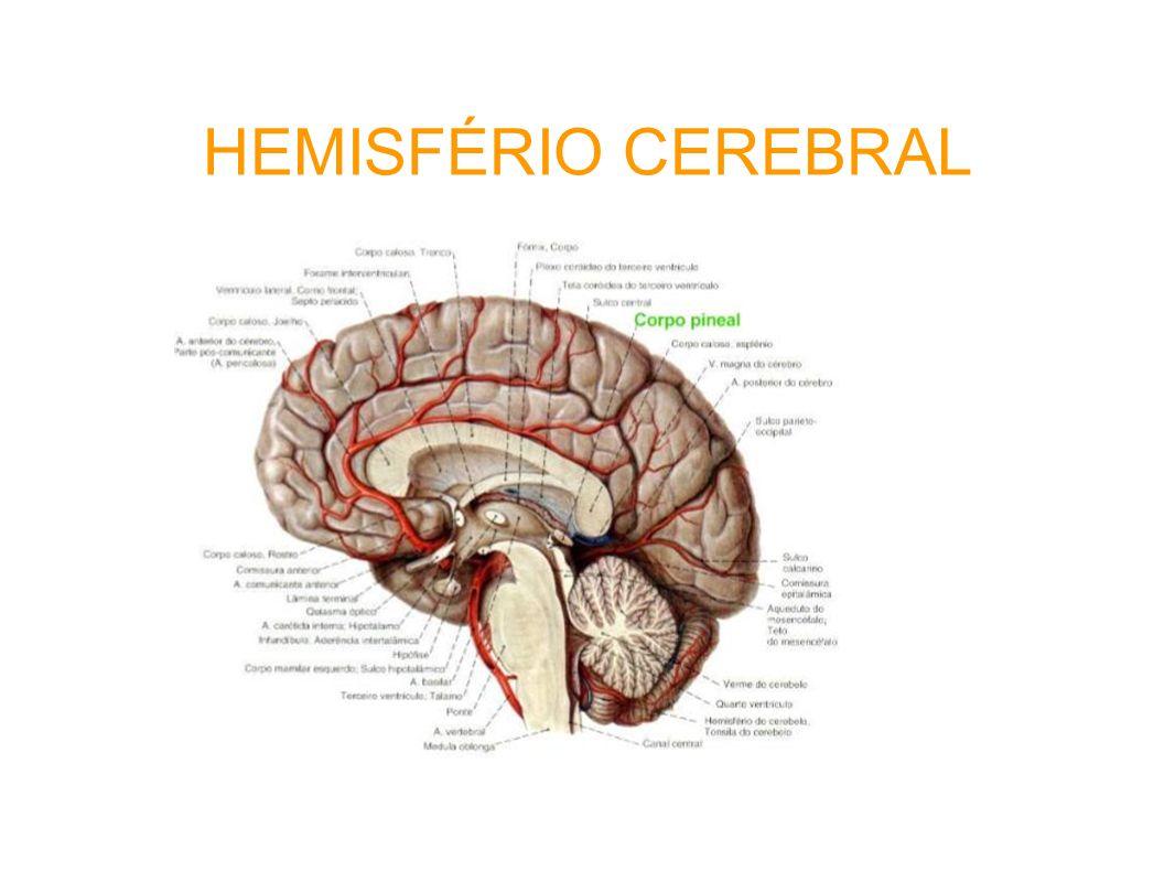 HEMISFÉRIO CEREBRAL