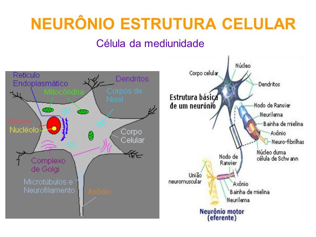 NEURÔNIO ESTRUTURA CELULAR