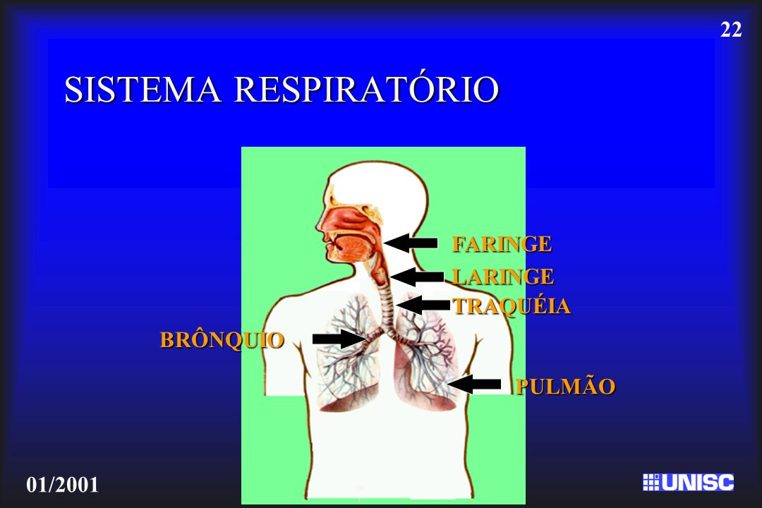 SISTEMA RESPIRATÓRIO FARINGE LARINGE TRAQUÉIA BRÔNQUIO PULMÃO