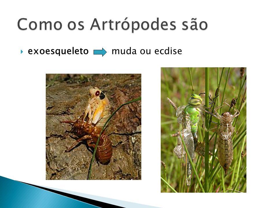 Como os Artrópodes são exoesqueleto muda ou ecdise