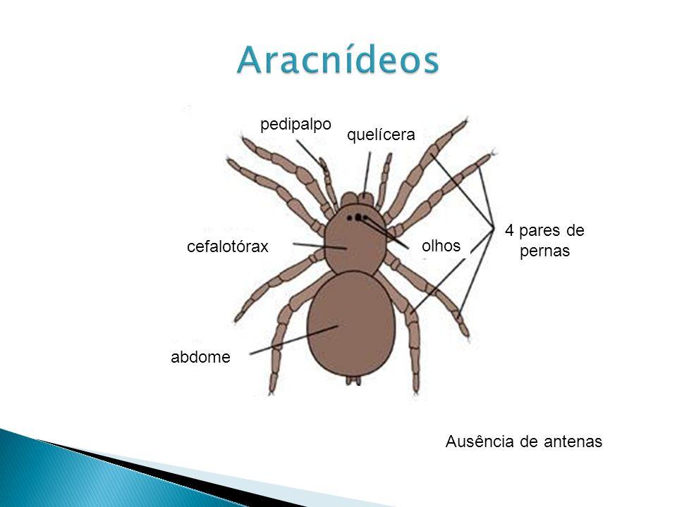 Aracnídeos pedipalpo quelícera 4 pares de pernas cefalotórax olhos