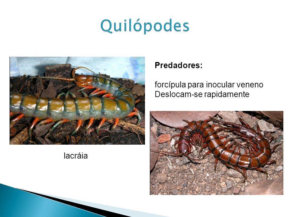 Quilópodes Predadores: forcípula para inocular veneno