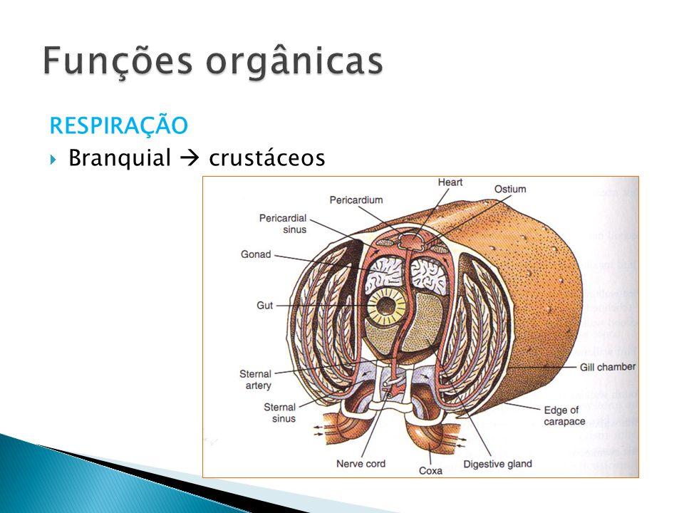 Funções orgânicas RESPIRAÇÃO Branquial  crustáceos