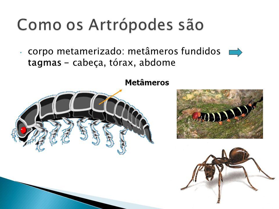 Como os Artrópodes sãocorpo metamerizado: metâmeros fundidos tagmas - cabeça, tórax, abdome.