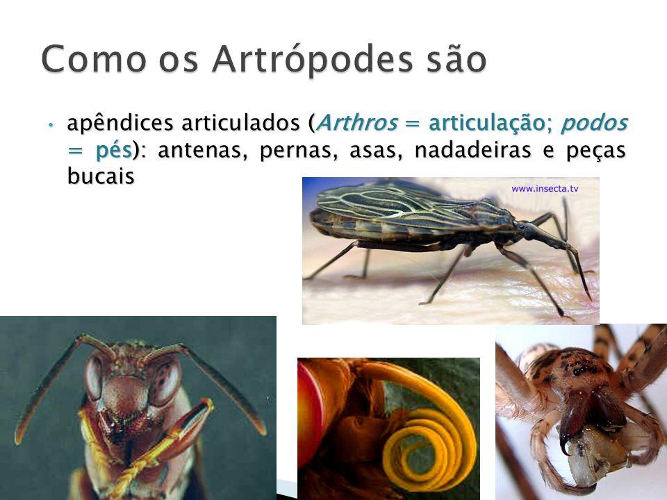 Como os Artrópodes são apêndices articulados (Arthros = articulação; podos = pés): antenas, pernas, asas, nadadeiras e peças bucais.