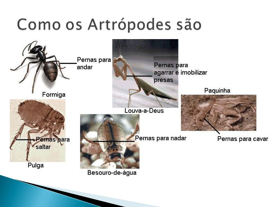Como os Artrópodes são