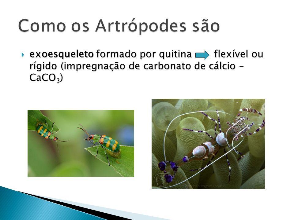 Como os Artrópodes são exoesqueleto formado por quitina flexível ou rígido (impregnação de carbonato de cálcio – CaCO3)