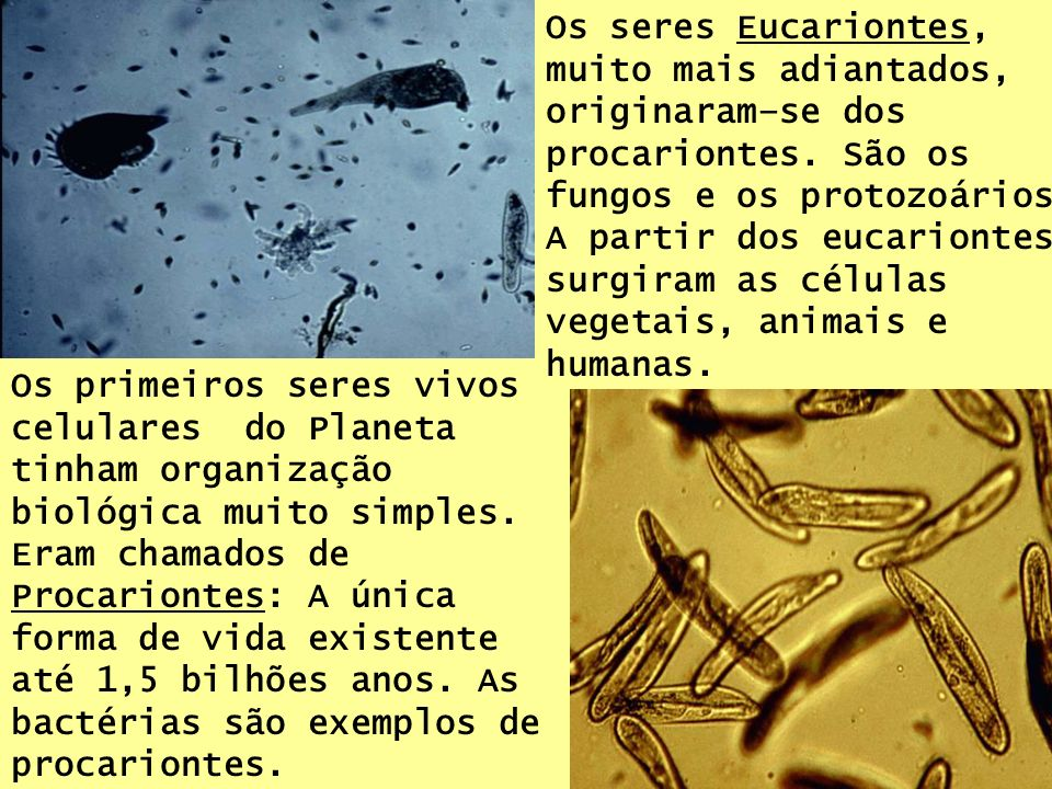 Os seres Eucariontes, muito mais adiantados, originaram–se dos procariontes. São os fungos e os protozoários. A partir dos eucariontes surgiram as células vegetais, animais e humanas.