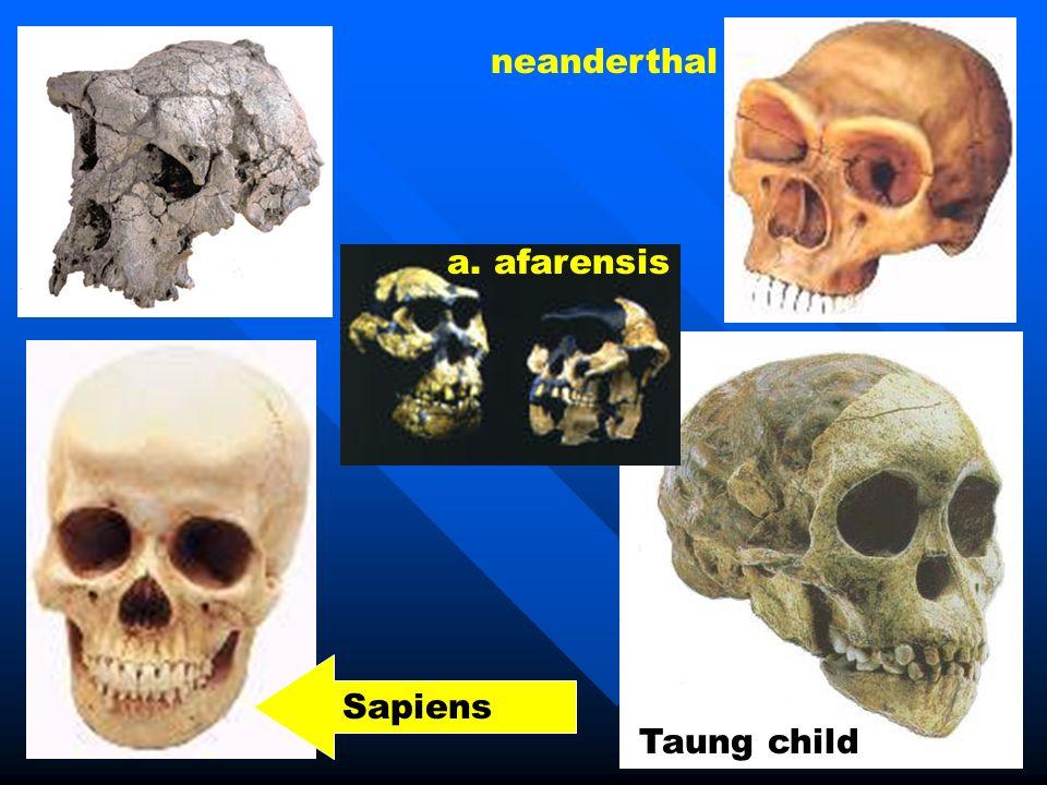 neanderthal a. afarensis Sapiens Taung child