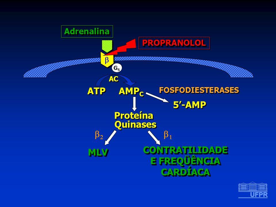 ATP AMPC 5'-AMP Proteína Quinases b2 b1 CONTRATILIDADE E FREQÜÊNCIA