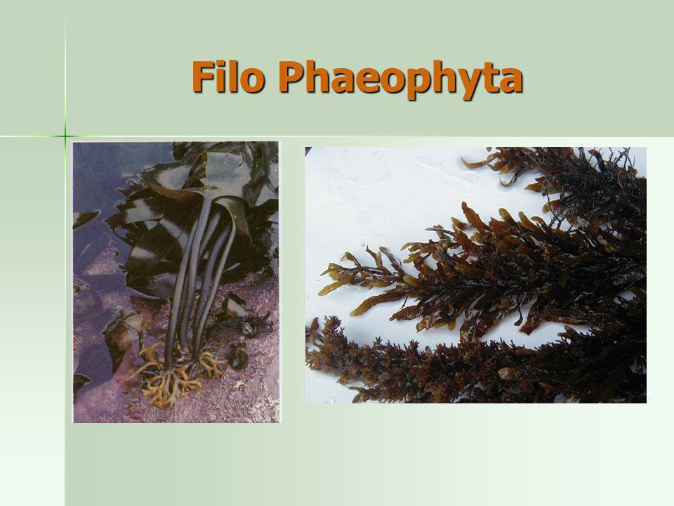 Filo Phaeophyta