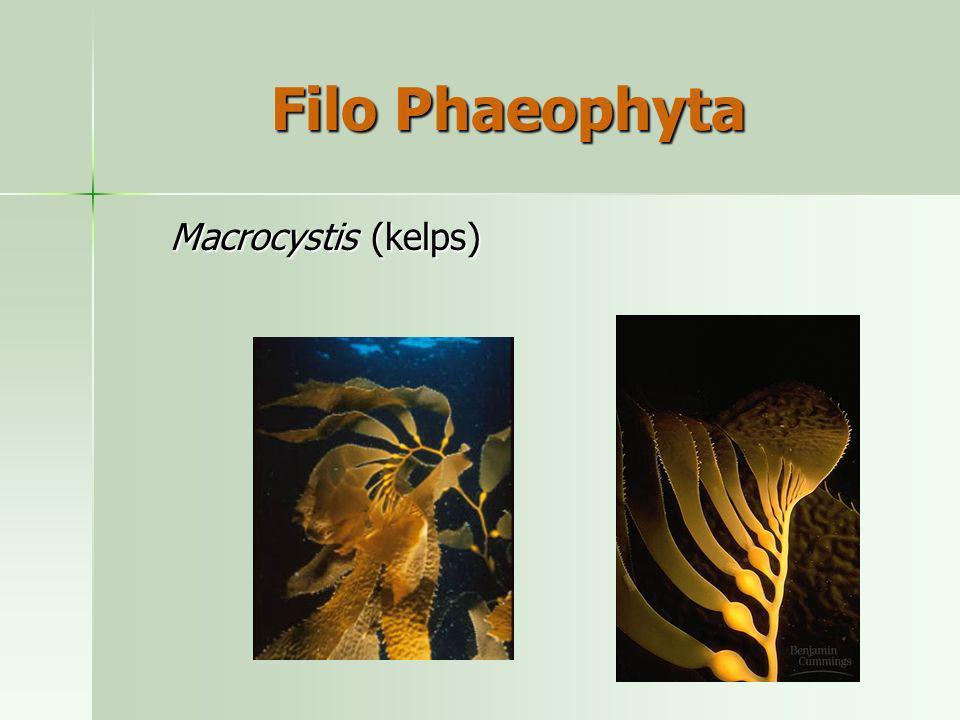 Filo Phaeophyta Macrocystis (kelps)