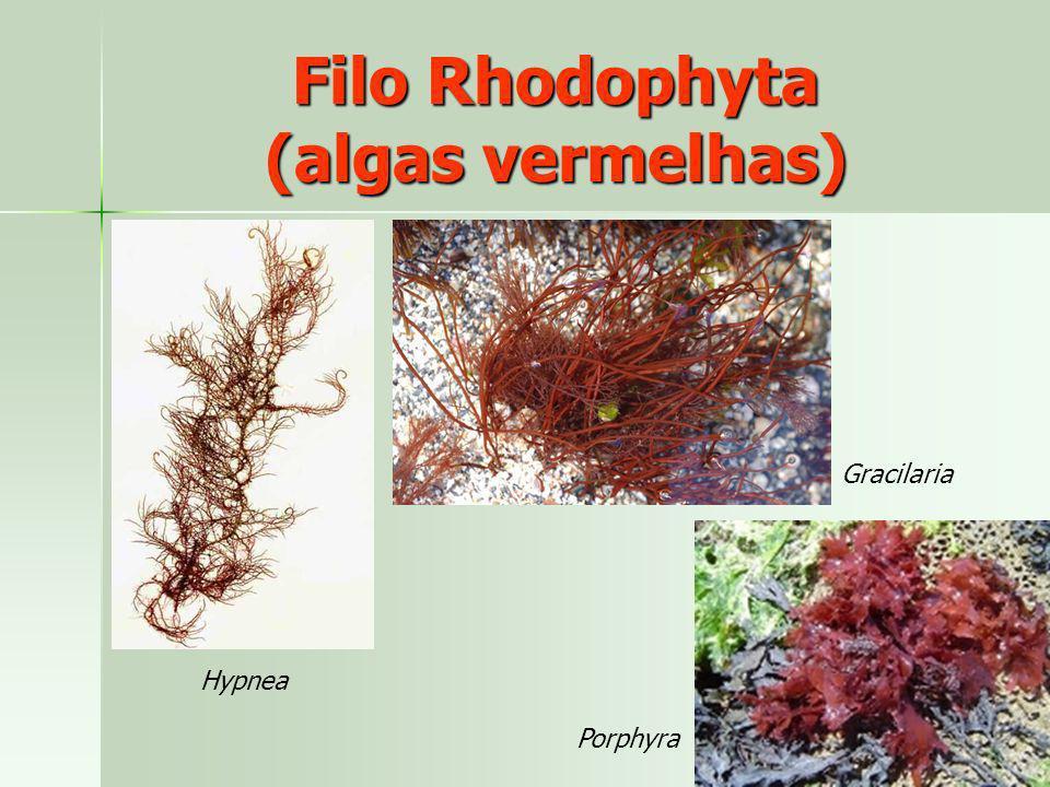 Filo Rhodophyta (algas vermelhas)