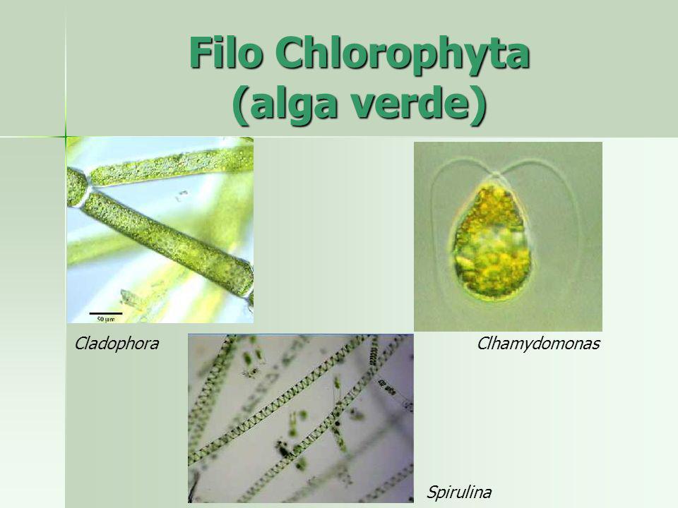 Filo Chlorophyta (alga verde)